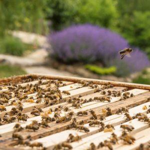 Bienen im offenen Bienenstock