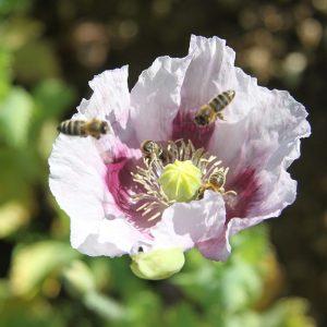 Bienen auf Mohnblume